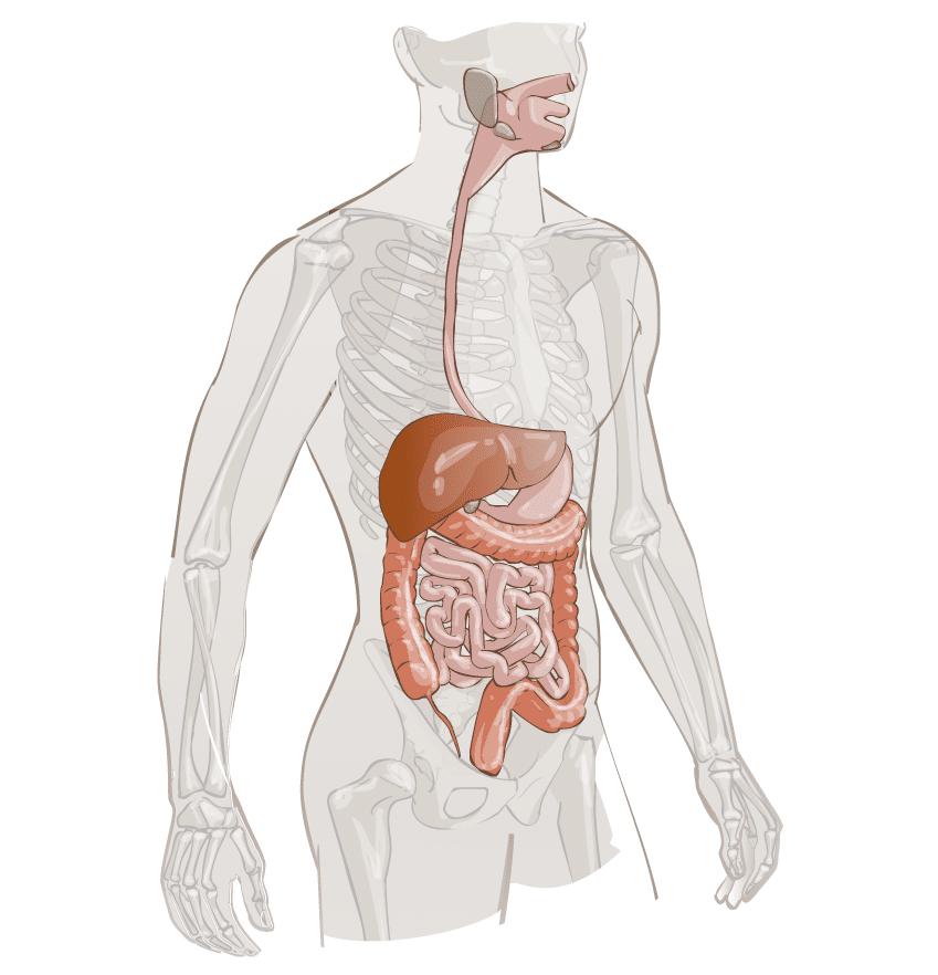 Agents Biologiques Voie Digestive